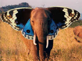 Elephant__Butterfly__by_saulinis