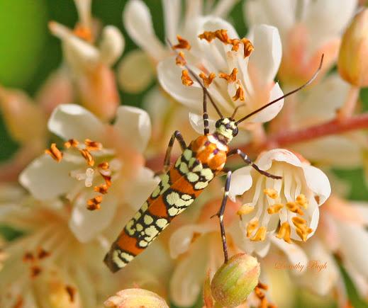 ailanthus webworm moth ncbg 71615 name